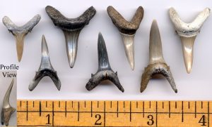 Sand Tigershark Teeth