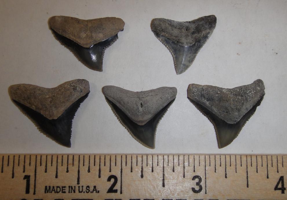 Hilton Head Shark Teeth - Captains Walk 413