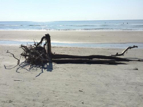 Very large driftwood